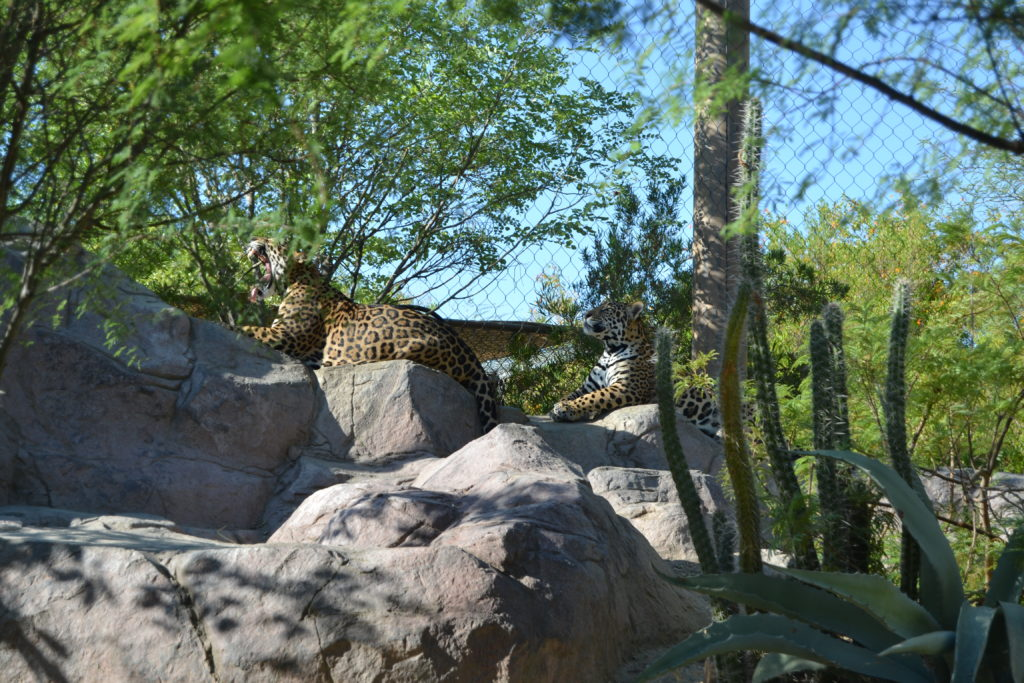 Jaguars at The Living Desert