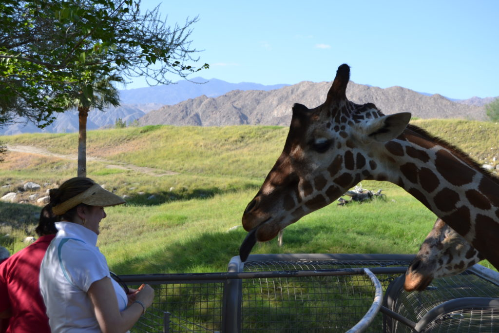 Giraffe Feeding at Living Desert